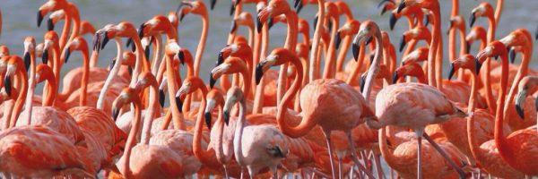 american-flamingos tt-1024x768